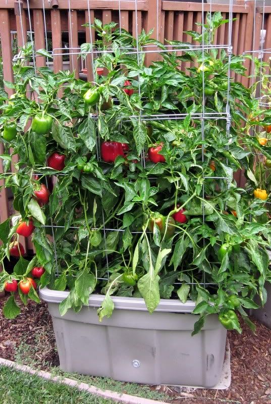 growing instructions for piccolo tomatoes