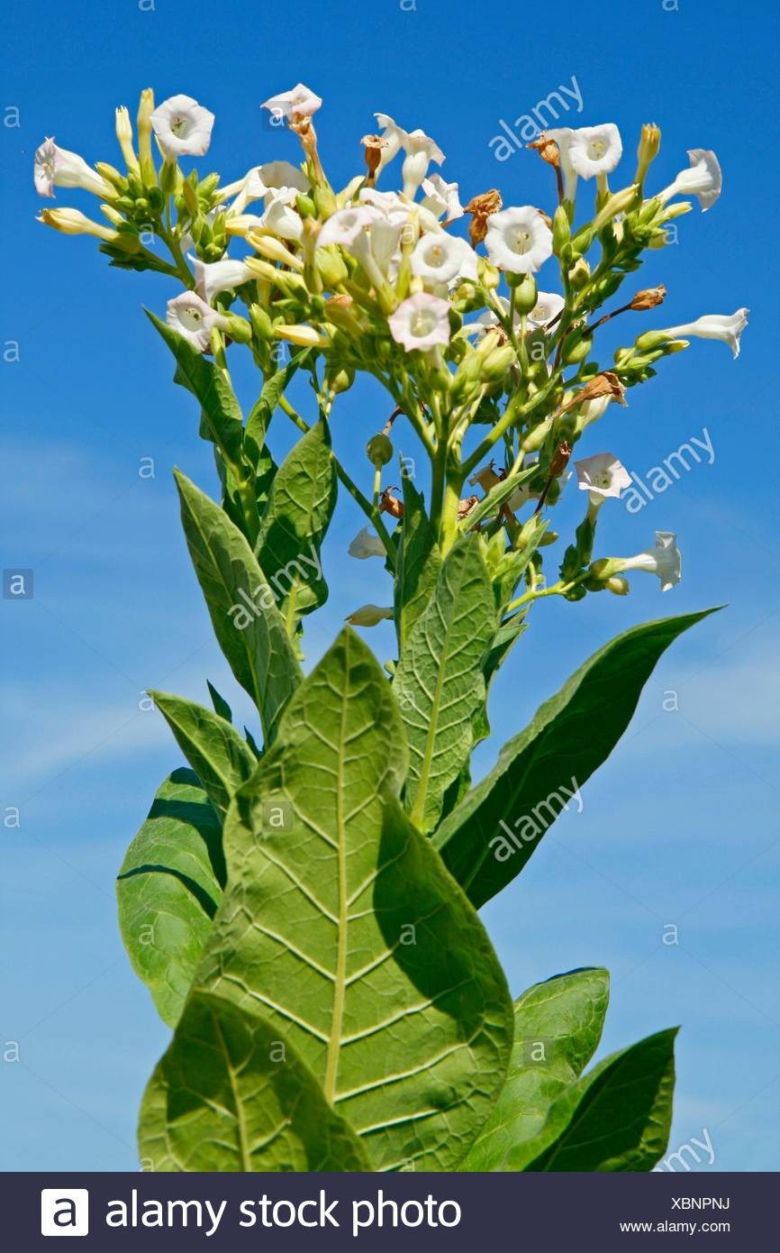 nicotiana flower planting instructions